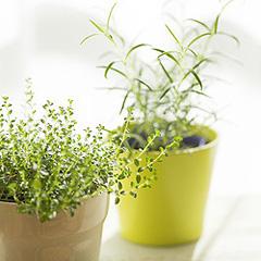 zimmerpflanzen portal ratgeber zur pflege und bestimmung der zimmerpflanzen. Black Bedroom Furniture Sets. Home Design Ideas