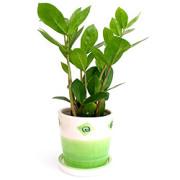 Zamioculcas, Glücksfeder (Zamioculcas zamiifolia)