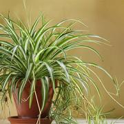 Grünlilie, Fliegender Holländer (Chlorophytum)