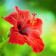 Hibiskus, Roseneibisch (Hibiscus)