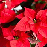 Weihnachtsstern, Poinsettie (Euphorbia pulcherrima)