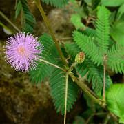 Mimose, Sinnpflanze (Mimosa pudica)