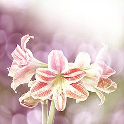 Amaryllis - giftige Zimmerpflanzen