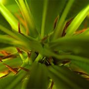 Madagaskarpalme (Pachypodium lamerei)