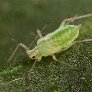 Blattläuse: die ungeliebten Mitbewohner