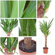 Palmlilie (Yucca elephantipes)