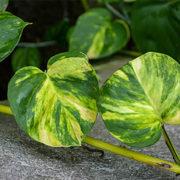 Efeutute (Epipremnum aureum)