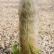 Greisenhaupt (Cephalocereus senilis)
