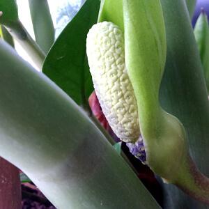 Blüte einer Zamioculcas