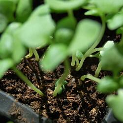 Jungpflanzen in Anzuchterde