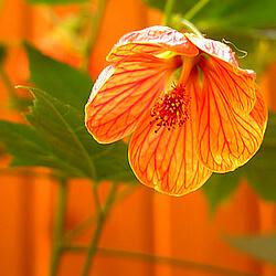 orange Schönmalve