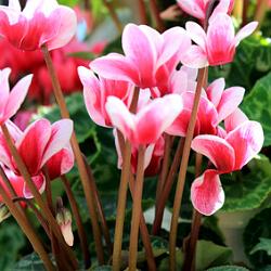rosa Alpenveilchen