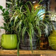 Zimmerpflanzen: Im Spätsommer gibt's Arbeit