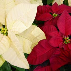 Weihnachtsstern rot weiß