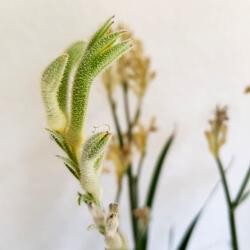 Blüte einer Känguruhpfote