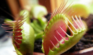 Fleischfressende Pflanzen Venusfliegenfalle