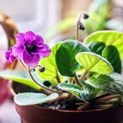 Usambaraveilchen – die afrikanische Pflanze, die gar kein Veilchen ist