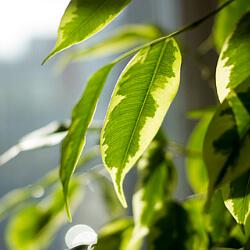 Birkenfeige - Ficus benjamini