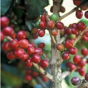 Kaffeebaum – die Schönheit aus den Tropen