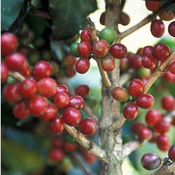 Kaffeebaum Früchte