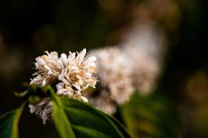 Kaffeebaum Blüten