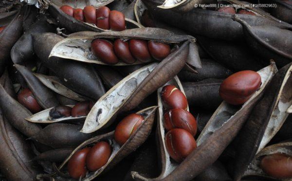 Australische Kastanie – die Zimmerpflanze aus Down Under