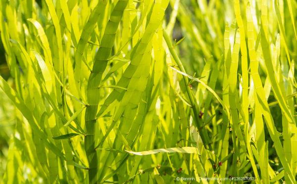 Bandbusch (Homalocladium platycladum)