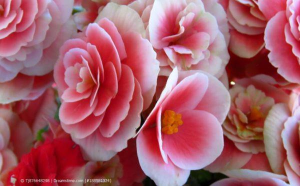 Begonien: Pflegeleichte Blütenpracht für schattige Standorte