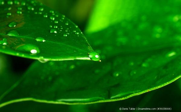 Die Blattpflege von Grünpflanzen