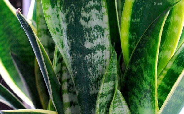 Bogenhanf (Sansevieria)