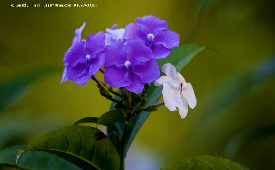 Blüten einer Brunfelsie (Brunfelsia pauciflora var. calycina)