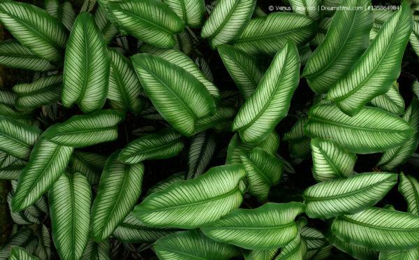 Calathea – anspruchsvolle Zimmerpflanze mit exotischem Aussehen