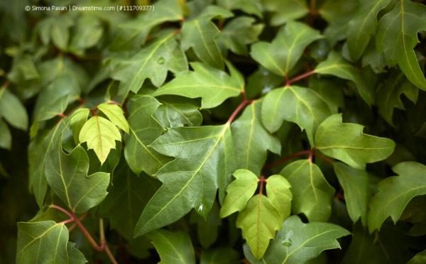 Cissus: Die Kletterpflanze für drinnen