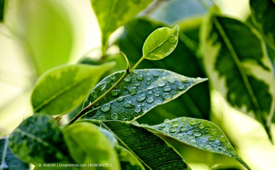 Blätter einer Birkenfeige mit Wassertropfen