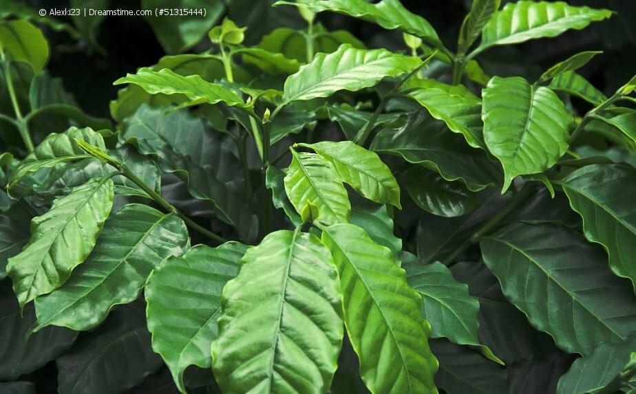 Kaffeebazm - grünes Laub