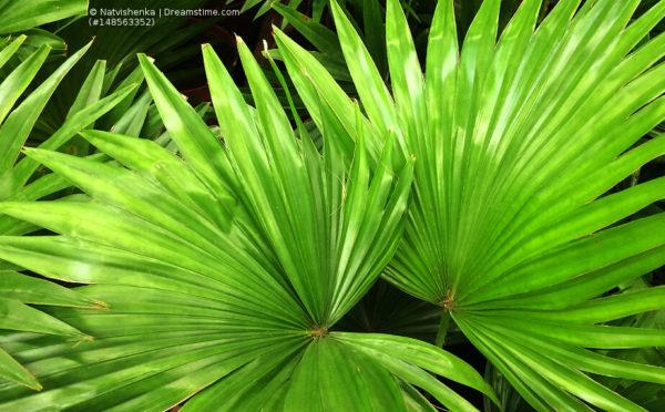 Palmenerde: Optimale Ansprüche an die Tropengewächse