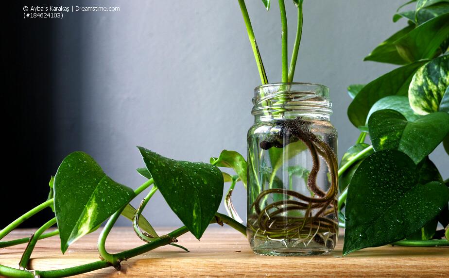 Pflanzenvermehrung durch Kopfstecklinge