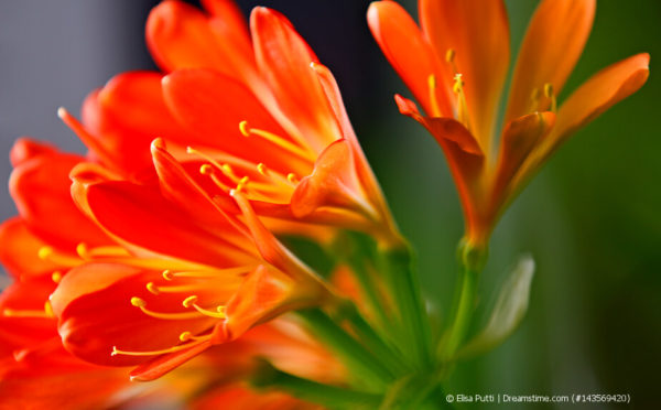 Riemenblatt – die afrikanische Antwort auf die Amaryllis