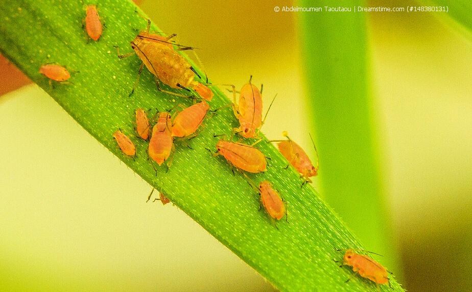Schädlinge an Zimmerpflanzen - Blattläuse