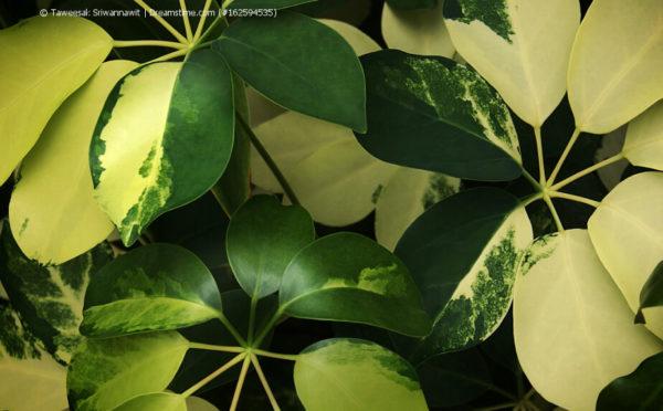 Schefflera, Strahlenaralie, Lackblatt (Schefflera arboricola)