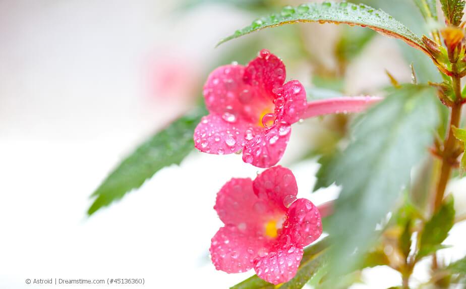 Schiefteller mit Rosa Blüten