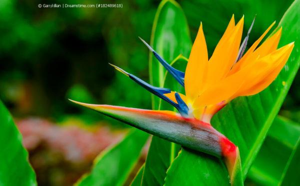 Strelitzie, Paradiesvogelblume (Strelitzia reginae)