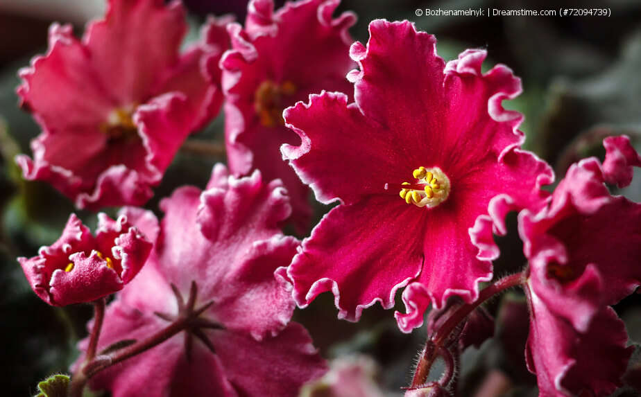 Blühendes Usambaraveilchen