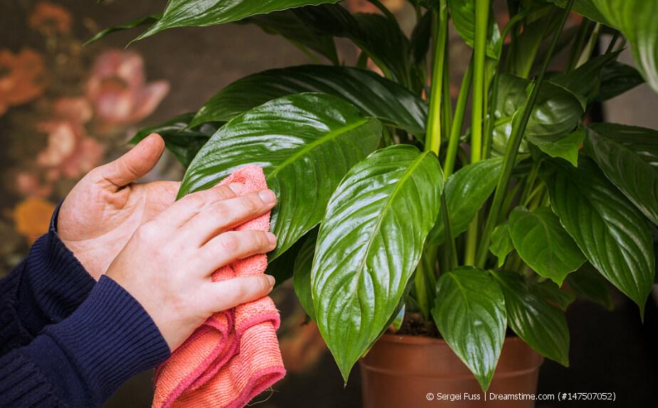 Frühjahrskur für Zimmerpflanzen - Pflanze abstauben