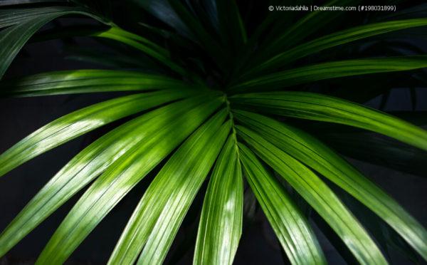 Die Kentia-Palme – von Australien in die weite Welt